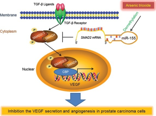 Inhibition of transforming growth factor beta (TGF-β)/SMAD signal by demethylation-activated miR-155 is involved in arsenic trioxide-induced anti-angiogenesis in prostate cancer. VEGF, vascular endothelial growth factor.