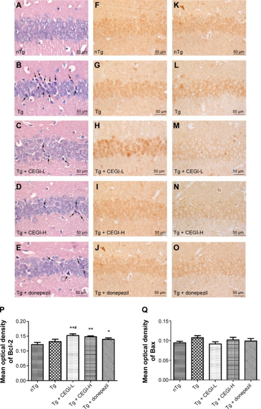Effects of CEGI on the neuronal morphology and expression of Bcl-2 family members in the CA1 region of the hippocampus in APP/PS1 mice.Notes: *P<0.05, **P<0.01 compared with the nontransgenic (nTg) group; #P<0.05, ##P<0.01 compared with the transgenic (Tg) group. (A–E) Hematoxylin and eosin staining. The neurons in the brains of nTg mice were found to be intact and well arranged. On the other hand, the neurons in the Tg mice exhibited shrunken and triangulated neuronal bodies (black arrows). The cells were disordered, with a slightly changed cell polarity. Treatment with CEGI or donepezil diminished the shrunken and triangulated neurons (black arrows) in the hippocampal CA1, and the neurons recovered their characteristic shape and arrangement, similar to the nTg mice; however, an enlarged extracellular gap was detected. (F–J) Immunohistochemical staining for Bcl-2. (K–O) Immunohistochemical staining for Bax. Scale bar 50 μm. (P) Statistical graph displaying the mean optical density of Bcl-2; (Q) statistical graph displaying the mean optical density of Bax; (R) a statistical graph displaying the ratio of Bcl-2/Bax. Data presented as means ± SE, n=7–8 mice in each group.Abbreviations: CEGI, cattle encephalon glycoside and ignotin injection; SE, standard error; H, high dose; L, low dose; APP, β-amyloid precursor protein; PS, presenilin.