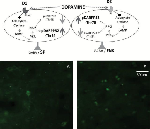 Top, DARPP-32 biochemistry in accumbens neurons containing dopamine (DA) D1 and D2 family receptors (see Bateup et al., 2008 for details). D1 receptor stimulation increases c-AMP production and protein kinase A (PKA) activity, which phosphorylates DARPP-32 to yield pDARPP-32(Thr34). D2 receptor stimulation decreases c-AMP production and protein kinase A activity, which decreases the dephosphorylation of pDARPP-32(Thr34) by protein phosphatase 2A (PP-2A), and therefore increases pDARPP-32(Thr75) expression. Bottom, High magnification photomicrographs of pDARPP-32(Thr34) (A) and pDARPP-32(Thr75) (B) staining in nucleus accumbens core, showing representative rats treated with 40.0mg/kg bupropion. Images were taken at 40× magnification. Scale bar=50 μm.