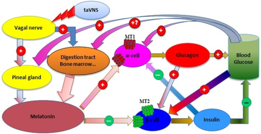 Schematic depiction of the modulation of glucose metabolism following taVNS in T2D.See Discussion for interpretation.