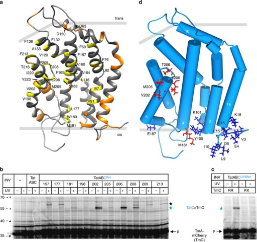 Contacts between TatC and a membrane-inserted RR-precursor.(a) Model of E. coli TatC based on the structure of A. aeolicus TatC7 using PDB code 4B4A. Indicated in yellow are all amino acids replaced by Bpa in this study, and in orange those of a previous analysis19. (b) The model RR-precursor TorA-mCherry was synthesized and radioactively labelled by in vitro transcription/translation in the absence or presence of inverted E. coli inner membrane vesicles (INV). In addition to TatA and TatB, INV contained either wild-type TatC (TatABC) or the indicated Bpa variants of TatC (TatABCBpa). In samples labelled (+), crosslinking was initiated by irradiation with ultraviolet light. Radiolabelled translation products were separated by SDS–PAGE and visualized by phosphorimaging. Indicated are the positions of molecular size standard proteins (left-hand side), the TorA-mCherry (TmC) precursor (p), and the crosslinked TatC–TmC complex (blue star). The black star marks a ultraviolet light-dependent crosslink of unknown nature between TorA-mCherry and several TatC variants. (c) comparing crosslinking of the L206Bpa variant of TatC to wild-type TorA-mCherry (RR) and to a mutant with an inactive signal peptide (KK). (d) Highlighted in red are all residues that in b showed distinct contacts to TorA-mCherry when replaced by Bpa, and in blue the precursor contact sites identified in our previous study19. The helices of TatC are numbered.