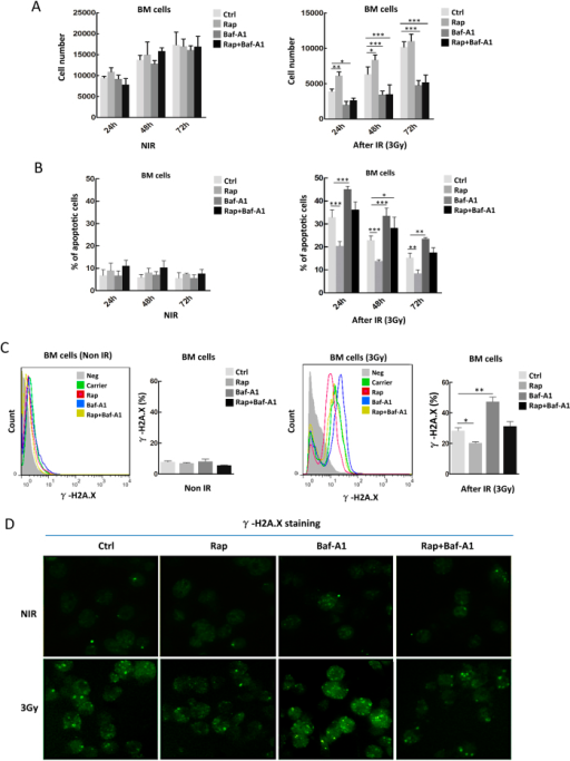 Rapamycin protects ex vivo bone marrow cells from radiation damage.(A) Rapamycin improves cell proliferation under radiation exposure. Bone marrow cells were isolated from wild-type B6/C57 mice and cultured in Iscove's Modified Dulbecco's Media with carrier (DMSO), rapamycin (50 nM), bafilomycin A1 (5 nM), and rapamycin together with bafilomycin A1 for 24 h. After irradiation with 3 Gy, each group of cells was seeded at a density of 5 × 103 cells/well in 96-well culture plates for growth recovery. The cells were counted with a hemocytometer at the indicated postirradiation times. A proliferation advantage was observed in irradiated bone marrow cells pretreated with rapamycin, which was blocked by bafilomycin A1 (right panel). Neither rapamycin nor bafilomycin A1 altered the overall proliferation of total non-irradiated bone marrow cells (left panel). (B). Rapamycin inhibited the apoptosis of irradiated bone marrow cells, which was blocked by bafilomycin A1. The above irradiated cells were labeled with propidium iodide and FITC-conjugated annexin V for cytometric analysis. Significantly reduced cell apoptosis was observed in cells treated with rapamycin, and bafilomycin A1 reduced the reduction in apoptosis (right panel). Neither rapamycin nor bafilomycin A1 altered the obvious apoptosis level of total non-irradiated bone marrow cells (left panel). (C) Rapamycin reduced the DNA damage of irradiated bone marrow cells, which was reversed by bafilomycin A1 (right panel). Neither of the two drugs altered DNA damage level of the non-irradiated bone marrow cells (left panel). The DNA damage response was measured with specific marker γ-H2A.X in the above irradiated or non-irradiated cells. Shown are a representative flow histogram and statistical data for γH2A.X–positive cells. (D) Representative immunofluorescence microscopic data for γH2A.X foci formation in the same groups of bone marrow cells as in C. Data are mean ± SD from at least three independent experiments. n ≥ 5, *p < 0.05 and **p < 0.01.