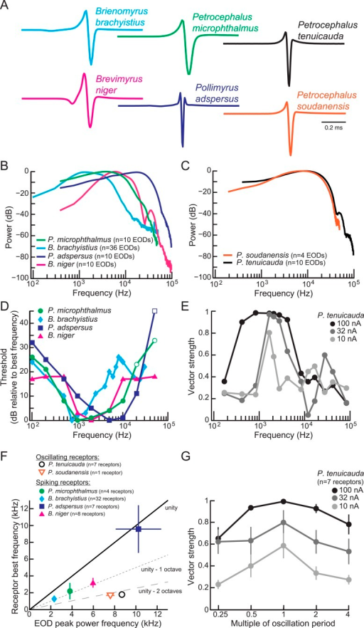 Frequency sensitivity of spiking receptors is matched to conspecific EOD power spectra, whereas frequency sensitivity of oscillating receptors is not.(A) Representative EODs from four species with spiking receptors (Brienomyrus brachyistius, P. microphthalmus, Brevimyrus niger, and Pollimyrus adspersus), and two species with oscillating receptors (P. tenuicauda and P. soudanensis), plotted head-positive up with normalized peak-to-peak heights. (B, C) Average power spectra of EODs from species with spiking receptors (B) and from species with oscillating receptors (C). (D) Frequency tuning curves for representative spiking receptors from four species. Threshold was determined as the lowest intensity stimulus that elicited a spiking response. The frequency with the lowest threshold was taken as the receptor's best frequency. Thresholds were defined as dB relative to the threshold at each receptor's best frequency. Open symbols indicate stimuli for which there was no response from the receptor at the intensity shown, but responses to higher intensities were not recorded. (E) Frequency tuning curves for a representative oscillating receptor from P. tenuicauda at three intensities. Stimuli were single-cycle bipolar sine waves with positive polarity (peak preceding trough). Vector strength was used as a measure of phase-locking across responses. Vector strength equals 1 when the phase of the oscillatory reset is the same for each stimulus presentation and 0 when the phase of oscillatory reset is completely random for each stimulus presentation. The frequency that elicited the highest vector strength was taken as each receptor's best frequency. (F) Average receptor best frequency vs average conspecific EOD peak power frequency for all species studied. Best frequencies were averaged across responses to positive- and negative- (trough preceding peak) polarity stimuli in oscillating receptors. We used the best frequencies at 10 nA in P. tenuicauda. Closed symbols denote species with spiking receptors and open symbols denote species with oscillating receptors. (G) Vector strength of oscillating responses to positive-polarity single-cycle bipolar sine stimuli at multiples of receptors' spontaneous oscillation periods at three intensities in P. tenuicauda. Each point in F and G represents the average across receptors where appropriate, and error bars represent S.E.M.DOI:http://dx.doi.org/10.7554/eLife.08163.006