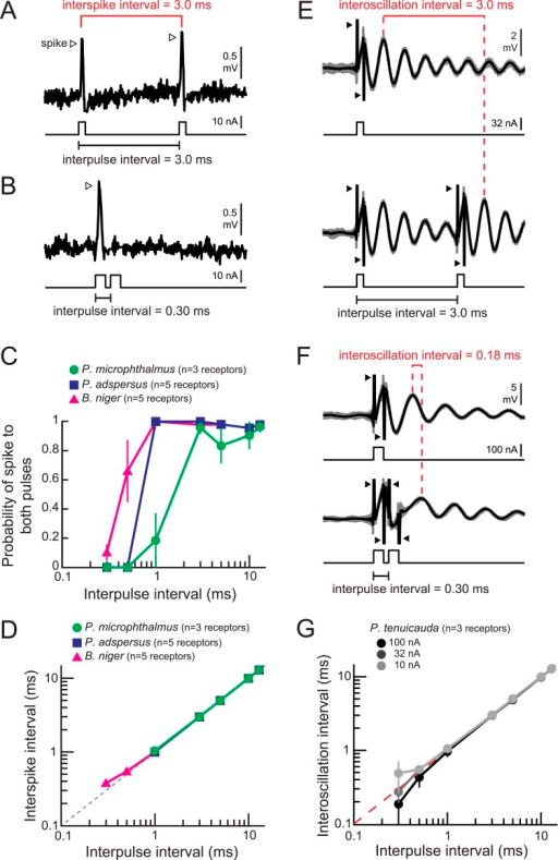 Spiking and oscillating receptors encode interpulse intervals into interspike and interoscillation intervals, respectively.(A, B) Extracellular recording from a spiking receptor in B. niger in response to a pair of positive-polarity monopolar square pulses of 0.2-ms duration and 3.0-ms interpulse interval (IPI) (A) and 0.30-ms IPI (B). A spike occurred in response to the first pulse only for the 0.30-ms IPI. Stimulus artifacts were removed from recordings for clarity. (C) The probability that a receptor fired spikes to both positive-polarity pulses in a pair vs IPI for spiking receptors from three species. (D) Interspike interval vs positive-polarity IPIs for the same spiking receptors shown in C. The receptors of P. adspersus and P. microphthalmus did not fire spikes in response to both pulses when IPIs were shorter than 1 ms, so there are no data points at these intervals. (E) Extracellular recordings from an oscillating receptor in P. tenuicauda in response to a single pulse (top) and to a pair of pulses with 3.0-ms IPI (bottom). Responses to each stimulus presentation are shown in gray and the average across stimulus presentations is shown in black. The interoscillation interval was defined as the time interval between the first poststimulus oscillatory peak evoked by the single pulse and that evoked by the second pulse in the pair and was measured from the averaged traces. (F) Same as E for 0.30-ms IPI. (G) Interoscillation interval vs IPI for the responses of P. tenuicauda receptors to positive-polarity stimuli. Each point in C, D, and G represents the mean across receptors and error bars represent S.E.M.DOI:http://dx.doi.org/10.7554/eLife.08163.007
