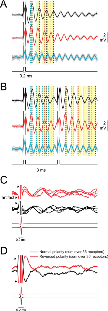 Synchrony across receptors is greatest for the first poststimulus oscillation and then rapidly declines.(A) Responses of three oscillating receptors in P. tenuicauda to a single square pulse delivered in sequential recordings. Responses to each of 10 stimulus presentations are shown in gray and averages are shown in black, red, or blue. Dotted vertical lines in the corresponding color denote the times of the first four poststimulus oscillatory peaks. Yellow bars group the first, second, third, and fourth peaks from each receptor. Note how the peaks are transiently synchronized just after the stimulus, but become increasingly asynchronous with each subsequent cycle. (B) Same as A for responses of the same three receptors to a 3-ms IPI stimulus. Note the transient increase in synchrony across receptors just after both stimulus pulses. (C) A single recording trace from four receptors in the right augenrosette of one P. tenuicauda in response to a normal- (black) and reversed- (red) polarity conspecific EOD. Recording traces were normalized to the amplitude of the first poststimulus oscillation. (D) The sum of the normalized responses of all 36 receptors in the right augenrosette of one P. tenuicauda (illustrated in Figure 2B) to a normal- and reversed-polarity conspecific EOD (this includes the four traces shown in C as well as responses from the 32 additional receptors). The enhanced synchrony across receptors for the first poststimulus oscillatory peak results in the largest peak in the summed response just after the stimulus.DOI:http://dx.doi.org/10.7554/eLife.08163.008