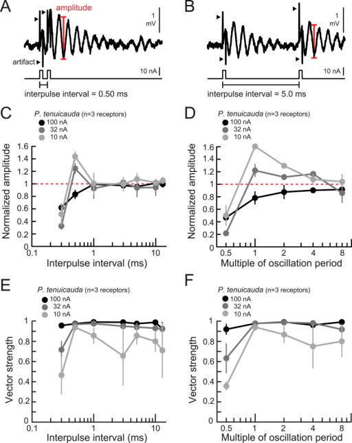 Oscillating receptors produce enhanced oscillation amplitudes at submillisecond IPIs matching their intrinsic oscillation periods.(A, B) Extracellular recording from an oscillating receptor in P. tenuicauda in response to a pair of monopolar square pulses of 0.2-ms duration and 0.50-ms IPI (A) and 5.0-ms IPI (B). We measured the oscillation amplitude on each stimulus presentation as the mean voltage of the first two poststimulus oscillatory peaks minus the voltage at the intervening trough. We then averaged amplitudes across all presentations of the same stimulus. (C) Oscillation amplitude evoked by the second pulse in the pair normalized to the amplitude evoked by a single pulse vs IPI for the responses of P. tenuicauda receptors at three stimulus intensities. Data shown are for positive-polarity pulses. (D) Same as C for IPIs corresponding to multiples of oscillating receptors' intrinsic oscillation periods. (E) Vector strength vs IPI for oscillating responses to positive-polarity stimuli at three intensities in the same receptors shown in C and D. (F) Same as E for IPIs corresponding to multiples of oscillating receptors' intrinsic oscillation periods for the same receptors shown in C–E. Each point in C–F represents the mean across receptors and error bars represent S.E.M.DOI:http://dx.doi.org/10.7554/eLife.08163.009