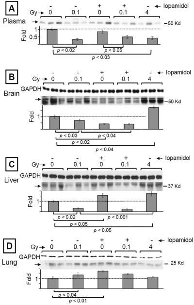 Modulation of S-nitrosylation, in vivo, by ionizing radiation and/or radiocontrast agent. Western blot analyses, following the biotin switch assay, of nitrosylated proteins from plasma (A), brain (B), liver (C), and lung (D) of C57 of C57Bl/6J mice exposed 13 days earlier to 137Cs γ-rays in the presence or absence of iopamidol. Proteins from mouse organs were freshly extracted and subjected to the biotin switch assay. The biotinylated proteins were detected with anti-biotin antibody. Protein aliquots (15 µg), before enrichment, were used as the input standard, and the expression level of GAPDH was used as the loading control. In the case of plasma from circulating blood, staining of the membrane with Ponceau S Red (not shown) indicated equal loading.