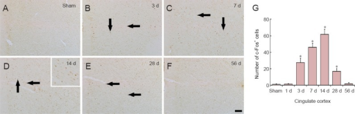 c-Fos immunohistochemistry in the cingulate cortex of the sham-operated (sham; A) and myocardial infarction (MI) rats at 3 (B), 7 (C), 14 (D), 28 (E) and 56 days (F) after MI.In the sham group, c-Fos immunoreactivity was hardly detected in the cingulate cortex. In the MI groups, the number of c-Fos-positive (c-Fos+) cells in the cingulate cortex (arrows) was increased at 3 d after MI, peaked at 14 d after MI, and returned to the level of the sham group at 56 d after MI. Scale bar: 100 μm. (G) The mean number of c-Fos+ cells in the cingulate cortex (n = 7 rats per group); *P < 0.05, vs. sham group. One-way analysis of variance and a Tukey's post hoc test were used. The bars indicate the mean ± SEM. d: Day(s).