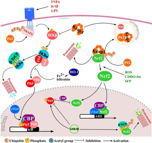Well-characterized points of molecular cross-talk between NF-κB and Nrf2 response pathways