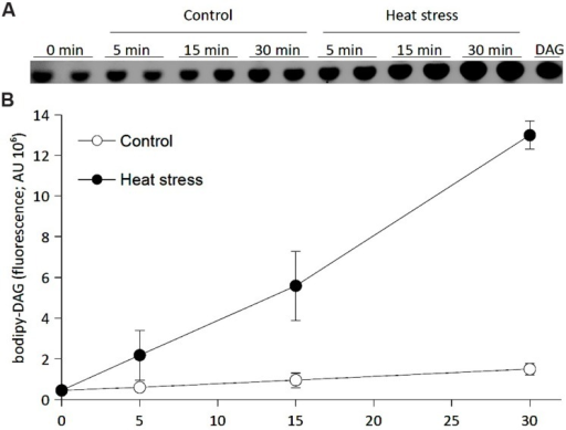 Effect of heat stress on NPC activity in BY-2 tobacco cells. Six-day-old BY-2 cells were incubated with bodipy-PC as a substrate for 10 min. Half of the cells were transferred to 42°C, and the rest were kept at 20°C. The reaction was stopped at the times indicated. Lipids were extracted and separated by HP-TLC, and bodipy-DAG fluorescence was quantified. (A) HP-TLC chromatogram of bodipy-DAG, the product of NPC activity. (B) The quantification of bodipy-DAG fluorescence. Data represent means ± SD from independently analyzed parallel samples. This experiment was repeated twice with similar results. DAG, diacylglycerol; HP-TLC, high-performance thin layer chromatography; NPC, non-specific phospholipase C; PC, phosphatidylcholine.