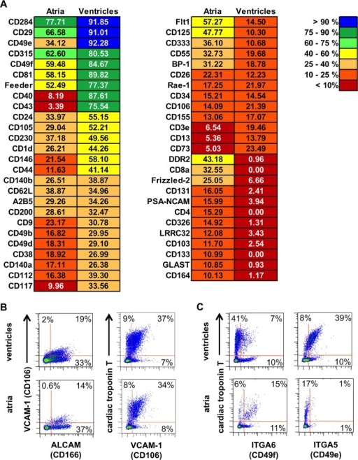 Antibody-based surface marker screening of mechanically separated atrial and ventricular fraction (E13.5).(A) List of all markers that were expressed by a minimum of 10% of the cells from either atrial or ventricular cells. The expression frequency is color-coded. (B) Density plots, left panel, co-labeling of ALCAM and VCAM-1 on both fractions as resulted from the antibody screen. Right panel, validation of VCAM-1 as CM marker by co-labeling of VCAM-1 with cardiac troponin T. (C) Density plots, validation of differential expression of ITGA6 (left panel) and ITGA5 (right panel) by co-labeling with an antibody against cardiac troponin T.