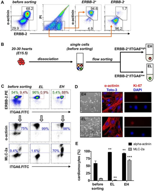 Selective enrichment of embryonic atrial and ventricular cardiomyocytes.(A) E15.5 CMs were purified by sorting of whole-heart suspensions into PI-/ERBB-2+ and PI-/ERBB-2- cells. (B) E15.5 mouse hearts were dissociated and sorted into ERBB-2+/ITGA6low (EL) and ERBB-2+/ITGA6high (EH) cells. (C) Density plots, distribution of the cells before and after sorting. Dot plots, co-staining of the fractions with pure antibodies against α-actinin and MLC-2a (labeled with APC rat anti-mouse IgG1 or IgG2ab). (D) Sorted fractions were plated on fibronectin-coated dishes. Cells were attached after one day; most of them flattened but some still round. Immunofluorescence analysis of plated cells one day after sorting in terms of α-actinin cross-striation (mid panel) and of Ki-67 expression (right panel). (E) Statistical analysis of the CM subtype isolation with regard to the content of α-actinin and MLC-2a before and after sorting. Data are expressed as mean ± SD, n = 4. t-test for paired samples with** p ≤ 0.01, *** p ≤ 0.001 vs. before sorting.