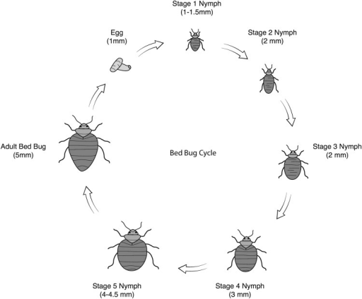 Female Bed Bugs Lay Several Eggs After 4 12 Days T Open I