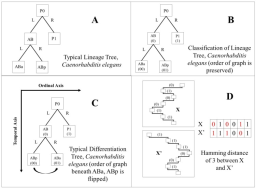 "A demonstration of how binary codes produce different classifications of each cell in C. elegans embryos according to two different binary tree orderings. (A) Five nodes and their left/right (L/R) ordering in the C. elegans lineage tree; (B) a binary lineage code classification for these same nodes (cells) in the lineage tree, with 0 representing nodes that branch to the left, and 1 representing nodes that branch to the right; (C) the same five nodes as shown in A and B, but reordered to reflect their relative cell volumes, small daughter cells to the left (0) and large daughter cells to the right (1). This is reflected in their differentiation code classification; (D) a demonstration of how the Hamming distance metric is calculated for the ""distance"" between the lineage code and the differentiation code for a given cell (X and X'). Only the path in the tree is shown, from the root (top) to the given cell (bottom). Represented as a decimal number, the Hamming distance (see Methods) is the number of differences (or flipped bits) between X and X' (labeled in red)."