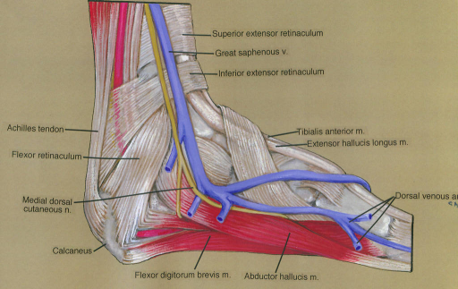 superior extensor retinaculum; great saphenous vein; inferior extensor retinaculum; tibialis anterior muscle; extensor hallucis longus muscle; dorsal venous arch; abductor hallucis muscle; flexor digitorum brevis muscle; calcaneus; medial dorsal cutaneous nerve; flexor retinaculum; Achilles (calcaneal) tendon