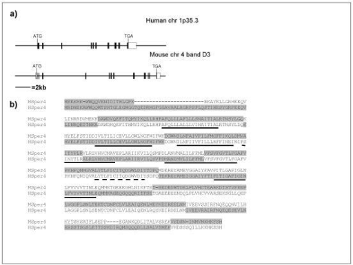 Genomic organisation of the human and mouse CatSper4 genes. (a) Gene structure of human and mouse CatSper4 genes on human chromosome 1p35.3 and mouse chromosome 4 band D3 respectively. Horizontal line represent human genome assembly NCBI 31 and mouse genome assembly NCBI 03, filled boxes represent coding regions, un-filled boxes represent non-coding regions. (b) Comparison of exon boundaries between human and mouse genes, exons are shaded alternately. Predicted transmembrane regions are underlined, the pore forming region is underlined with a dashed line.
