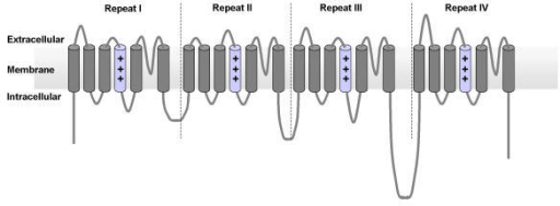 Topology diagram for the L-type and T-type four repeat voltage gated calcium channel families.