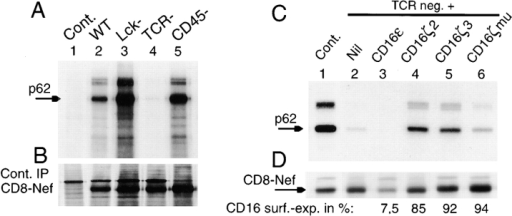 Requirement of the TCR ζ chain for binding of NAK/p62 to Nef. (A) In vitro kinase assay after immunoprecipitation (IP) of CD8-Nef  chimeras using the CD8 tag from stably transfected wild-type and mutant Jurkat cell lines lacking Lck, TCR, or CD45. Lane 1, control (Cont.) Jurkat  transfected with the CD8 tag. (B) Control immunoprecipitation showing expression of 35S-labeled CD8-Nef. (C) In vitro kinase assay after immunoprecipitation of CD8-Nef to study NAK/p62 association/phosphorylation in wild-type (Cont., lane 1) and TCR− Jurkat cell lines (lane 2), and after coexpression (stable transfection) of CD8-Nef with either CD16ε, CD16ζ2 (ITAM 2), CD16ζ3 (ITAM 3), or CD16ζmu (mutation of all three ITAMs) in  the TCR− cell line (lanes 3–6). (D) Control immunoprecipitation of 35S-labeled CD8-Nef from cell lines shown in C. (E) In vitro kinase assay after immunoprecipitation of AU-1–tagged Nef from transiently transfected 293T cells. Lane 1, transfection with Nef alone; lanes 2–7, cotransfection with increasing amounts (0.5 and 1 μg) of CD16ε, CD16ζ, or CD16ζmu. (F) The nitrocellulose filter shown in E was blotted (WB) with an anti-Nef (AU-1)  antibody to verify comparable Nef expression.