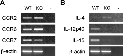 Expression of cytokines and chemokine receptors in DCs from ICSBP−/− mice. DCs were isolated from pooled spleens from ICSBP−/− or WT mice. CD11c+ DCs were magnetically sorted, as indicated in Fig. 5. Total RNA was extracted from freshly isolated DC preparations and assayed for the expression of the indicated chemokine receptors (A) or cytokines (B) by RT-PCR. Representative data of one experiment out of three are shown.