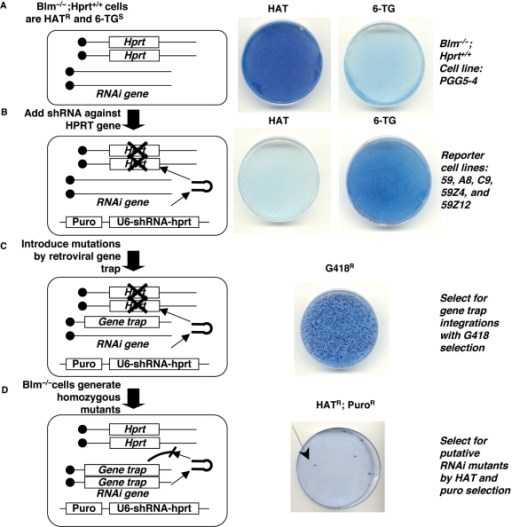 A recessive genetic screen to isolate RNAi mutants in Blm-deficient ES cells. The screen is diagrammed on the left and the drug resistance phenotype of the cells is shown on the right. Viable ES cells appear dark blue when stained with methylene blue. (A) Blm−/−Hprt+/+ cells are HATR and 6-TGS. (B) After the addition of a puromycin-linked U6-shRNA-Hprt to silence the Hprt gene, cells become HATS and 6-TGR. (C) Gene trap mutagenesis generates mutations in the cells and can be selected with the drug G418. (D) The Blm-deficient gene trapped ES cells accumulate homozygous gene trap mutations. Mutations that inactivate the RNAi pathway lead to Hprt expression and these cells are HATR and PuroR.