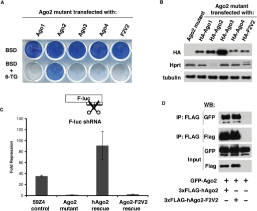 Ago2 mutant ES cells can serve as a tool to perform mutational analysis. (A) The mutant Ago2 cell line was transfected with transgenes expressing a BSD-linked, HA-tagged cDNA construct for Ago1, Ago2, Ago3, Ago4 and Ago2-F2V2. Cells were selected with BSD or BSD with 6-TG. Only stable transfection of WT-Ago2 can revert the 6-TGS phenotype of the mutant cells. (B) Western blot for HA shows the expression levels of different Ago proteins. Western blot for Hprt shows that only Ago2 expression silences Hprt expression. Tubulin is shown as a loading control. (C) A luciferase assay for RNAi-directed cleavage activity shows that Ago2-F2V2 is deficient for cleavage activity. (D) Coimmunoprecipitation performed in 293T cells shows that GFP-Ago2 is associated with Flag-tagged Ago2 as well as Flag-tagged Ago2-F2V2.