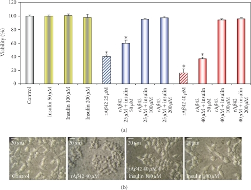 Dose dependence of protective effect of insulin against rAβ42 oligomers induced cell death. (a) LAN5 neuroblastoma cells were untreated (control) or incubated with insulin 50 or 100 or 200 μM of insulin alone or after incubation with 25 or 40 μM of rAβ42. After incubation treated and untreated cells were submitted to viability MTS assay. Cell viability is significantly lower in rAβ42 25 μM *P < .01, rAβ42 25 μM + insulin 50 μM *P < .01 versus control, whereas it is not significantly lower with rAβ42 25 μM + insulin 100 μM versus control. Cell viability is significantly lower in rAβ42 40 μM *P < .003, rAβ42  40 μM + insulin 50 μM *P < .003, whereas it is not significantly lower with Aβ 40 μM + insulin 100 μM versus control. Percentage of viability is referred to control, the data are the mean ±  SD of three separate experiments. (b) Representative morphological images of LAN5 untreated cells (control), treated with rAβ42 40 μM, rAβ42 40 μM, and insulin 100 μM, insulin alone 100 μM. Bar 20 μm.