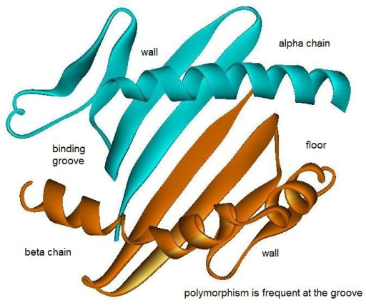 The peptide binding groove is formed by two domains each from alpha and beta chains