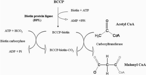 Schematic outline of the functional cycle of the BCCP s | Open-i