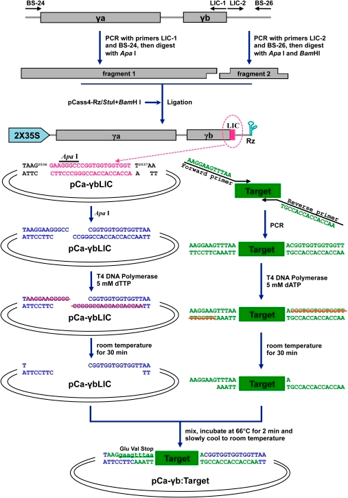 Schematic representation of use of the pCa-γbLIC vector for target gene fragment cloning.Individual steps in LIC cloning and insertion of target fragments to be used for VIGS assessment are illustrated.