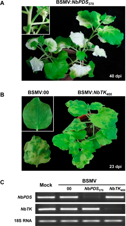 Silencing of endogenous phytoene desaturase (PDS) and plastid transketolase (TK) genes in N. benthamiana by Agrobacterium mediated BSMV VIGS.The four-leaf stage of N. benthamiana was infiltrated with an Agrobacterium mixture containing pCaBS-α, pCaBS-β and pCa-γb:NbPDS370 (BSMV:NbPDS370) or pCa-γb:NbTK400 (BSMV:NbTK400). (A) Large areas of photobleaching occurring in leaves infected with BSMV:NbPDS370 40 dpi, and an intense white photobleaching often appearing in stems and petioles (see magnified inset panel). (B) Chlorotic sectors with a distinctive carotenoid coloration interspersed with pale green regions in upper uninfiltrated leaves of plants infected at 23 dpi with BSMV:NbTK400. A leaf of a plant infiltrated with the empty vector (BSMV:00) is shown in the inset panel. (C) Relative transcript levels of NbPDS and NbTK in leaves infected with the BSMV:00, BSMV:NbPDS370 or BSMV:NbTK400. RNA extracted from the leaves was subjected to semi-quantitative RT-PCR amplification (27 cycles) with the gene-specific oligonucleotide primers shown in Table S1. Amplified tobacco 18S rRNA served as an internal control.