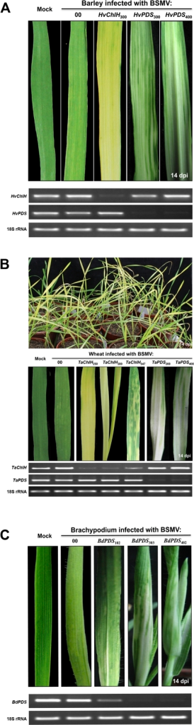 PDS and magnesium chelatase subunit H (ChlH) gene silencing phenotypes in barley, wheat and B. distachyon.(A) Barley showing phenotypes typical of suppression of ChlH and PDS by BSMV:HvChlH or BSMV:HvPDS inserts of the indicated lengths. (B) Upper panel: Wheat inoculated with BSMV:TaChlH250 showing more than 90% of inoculated plants developing the chlorotic phenotype associated with suppression of the ChlH gene. Middle panel: PDS and ChlH gene silencing phenotypes on wheat leaves infected with BSMV:TaChlH and BSMV:PDS derivatives with different length inserts. Bottom panel: PCR amplification of transcripts from leaves shown in the middle panel. (C) B. distachyon leaves showing effects of PDS suppression after infection with BSMV:BdPDS inserts. In these experiments, plants were inoculated at the two-leaf stage with infected N. benthamiana sap harboring BSMV derivatives targeting PDS and ChlH cognate genes from each species. Leaf photographs were taken at 14 dpi, and fragment lengths from each source are indicated as subscripts above each leaf. Relative transcript levels of PDS and ChlH genes in the leaves infected with the different BSMV derivatives are shown under the leaf photographs. RNA extracted from the leaves was subjected to semi-quantitative RT-PCR amplification (28 cycles for wheat and barley, 31 cycles for B. distachyon) with the gene-specific oligonucleotide primers shown in Table S1. Amplified species-specific 18S rRNA served as internal controls for each species.