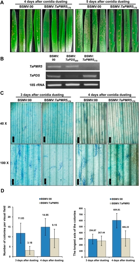 Effects of down regulation of TaPMR5 on powdery mildew pathogenesis.(A) Highly susceptible wheat line (Xuezao) plants with visible symptoms of pCa-γbLIC (BSMV:00) or pCa-γb:TaPMR5170 (BSMV:TaPMR5170) challenged by dusting with B. graminis f. sp. triticum conidia. The photographs depict colonization of the 4th leaf emerging after inoculation with BSMV:00 or BSMV:TaPMR5170, and show the extent of mycelial development at 4 and 5 days after conidial dusting. (B) Relative transcript levels of TaPMR5 and TaPDS in the 4th leaves emerging after infection with the BSMV derivatives (BSMV:00, BSMV:TaPDS200 or BSMV:TaPMR5170). RNA extracted from the leaves was subjected to semi-quantitative RT-PCR amplification (35 cycles) with the gene-specific oligonucleotide primers shown in Table S1. Amplified wheat 18S rRNA served as an internal control. (C) Higher resolution Olympus IX71 microscope observations of powdery mildew colonies appearing on leaf segments at 3 and 4 days after infection with BSMV:00 or BSMV:TaPMR5170. Leaf tissue was fixed in 75% ethanol/25% glacial acetic acid, and stained with 0.05% Coomassie blue R250. The bars represent 500 µm (40X) or 200 µm (100X). (D) Statistical analyses of colony formation and mycelia growth in wheat after TaPMR5 suppression. The numbers of colonies per visual field were counted and the longest axis of the colonies was measured at 3 and 4 days after conidial applications. The ±SD analyses and error bars reflect the means of three independent experiments.