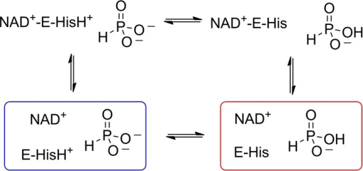 Possible protonation states of phosphite and His292 in PTDH. Thetwo substrates bind to the enzyme in an ordered mechanism with NAD+ binding first.1 On the basis ofthe pH–rate profile, dianionic phosphite could bind to theNAD+–PTDH complex containing a protonated His292(blue). If this is the active complex, a residue other than His292must function as a base to deprotonate the water nucleophile. Alternatively,the pKa values of phosphite and the Hiscould be perturbed in the ternary complex such that a proton is transferredfrom the protonated His to the phosphite to generate a monoprotonatedphosphite as the actual electrophile (red). This form of the ternarycomplex could also be accessed if monoanionic phosphite binds to theNAD+–PTDH complex in which the His is unprotonated(reverse protonation based on their pKa values).
