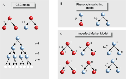 Models.(A) In the CSC model, CSCs (red) can divide symmetrically yielding two CSCs with probability  or asymmetrically yielding a CSC and a CC with probability . CCs divide symmetricaly for M generation after which they turn senescent. (B) Phenotipic switching is modeled by introducing a probability p that a CC transform back to the CSC state instead of duplicating. (C) In the imperfect marker model, the switching concerns marker expression not the CSC state. Both CSCs and CCs can be positive to the marker and upon division the expression of the marker can change randomly with respect to the originating cell according to the probabilities q for CSCs and q± for positive and negative CCs.