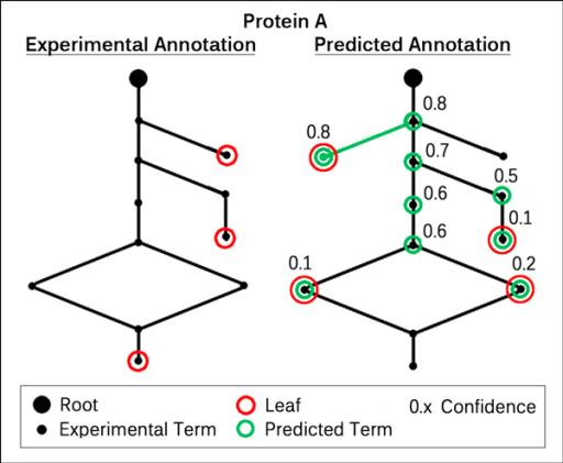 "A functional annotation and its prediction. This Figure shows one annotation of a sample protein A and its prediction. Each node in a graph corresponds to one GO term and the edges to relationships such as ""is a"" or ""part of"". The edges always point to the root node (either ""MFO"" or ""BPO""), which by itself is not informative and discarded in every evaluation. For clearity, the left subgraph only shows the experimental annotation of A. This means, all GO terms have either been experimentally verified or inferred from the same. The red circles indicate the leaf terms, i.e. the nodes which are not a parent of any other term. In the right subgraph, we see the experimental annotation again, but overlaid with predicted terms (green) and their reliabilities. This time, the leaf terms correspond to the predicted GO annotation, instead of the actual annotation."
