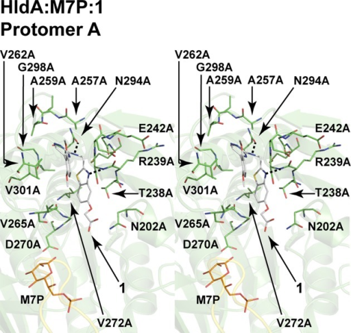 HldA–inhibitor interactions. Only the nucleotide-bindingsite in protomer A of HldA:M7P:1 is shown, as the inhibitor-bindinginteractions are essentially the same in protomer B of HldA:M7P:1 and both protomers of His6-HldA:1 and HldA:2. Inhibitor 1, M7P, and allof the residues involved are shown with stick models. For clarity,only some of the residues are labeled. All of the hydrogen bonds involvedare indicated by dotted lines.