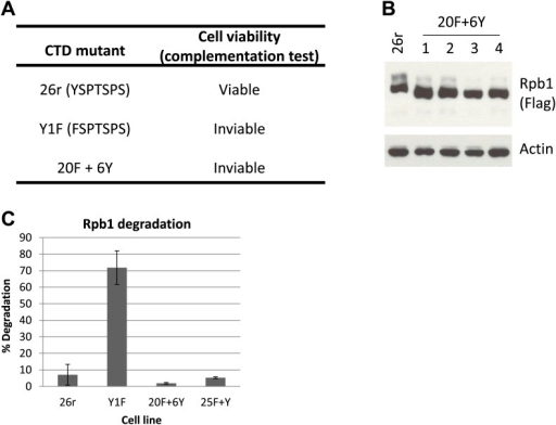Complementation test and western blotting analysis in cells with Y1F mutations.(A) Complementation test was performed as described and results were shown. (B) Western blotting analysis of 20F+Y cells. Cells (20F+6Y) expressing an Rpb1 with the last 6 Y1F repeats replaced with normal YSPTSPS repeats were treated with tet for 24 hr. Rpb1 proteins were detected using Flag antibody. (C) Whole-cell lysates prepared from cells expressing the indicated Rpb1 derivative and treated with tet for 24 hr were analyzed by western blotting. Western blots were quantified using ImageJ, and % degradation from 3–4 independent replicates is presented. Error bars denote standard deviation.DOI:http://dx.doi.org/10.7554/eLife.02112.004
