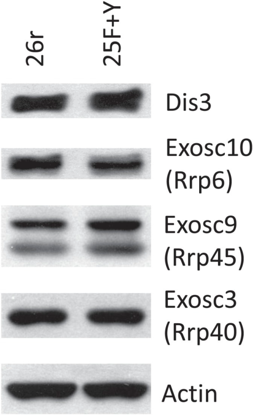 Exosome subunit levels.Cells were treated with tet for 24 hr. The levels of exosome subunits Exosc 3 (Rrp40), Exosc 9 (Rrp45), Exosc 10 (Rrp6), and Dis3 were determined by western blotting.DOI:http://dx.doi.org/10.7554/eLife.02112.013