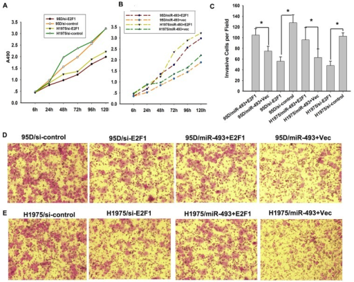 miR-493 inhibits the proliferation and invasion of lung cancer cells by targeting E2F1.A, The knock-down of E2F1 partly simulated the suppression lung cancer cells growth induced by the overexpression of miR-493 in 95D and H1975 cells. The growth curves demonstrated the capability of lung cells proliferation. The absorption value of cells was measured at the indicated time points in triplicate and their growth rates were recorded. B, Overexpression of exogenous E2F1 (without 3′-UTR of E2F1) rescued upon the proliferation suppression induced by miR-493 in 95D and H1975 cells. C, T The invasive properties of H1975 and 95D cells which were either knock-down or overexpression of E2F1were analyzed with a transwell assay using a Matrigel-coated chamber. The migrated cells were plotted as the average number of cells per field of view from 3 different experiments, as described in the Materials and Methods. The data are the mean ± SD.* means p<0.05. D and E, Representative images of the assays are shown. Original magnification: ×200.
