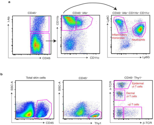 Gating strategy for T cell subsets and myeloid cells from digested ear skina, The ear skin of mice challenged for 3 days with IMQ was digested as described in methods and, after doublet exclusion and gating on defined FSC-A, SSC-A parameters, infiltrating myeloid cells were gated as CD45+ I-Ab (Class-II)−, CD11b+ CD11c−, and then subdivided into inflammatory monocytes and neutrophils based on Ly6C and Ly6G staining. b, The ear skin of naïve mice was digested as described in methods and, after doublet exclusion and gating on defined FSC-A, SSC-A parameters, cutaneous T cells were gated on CD45+, Thy1+, and then divided into subsets based on staining for δ-TCR and β-TCR.