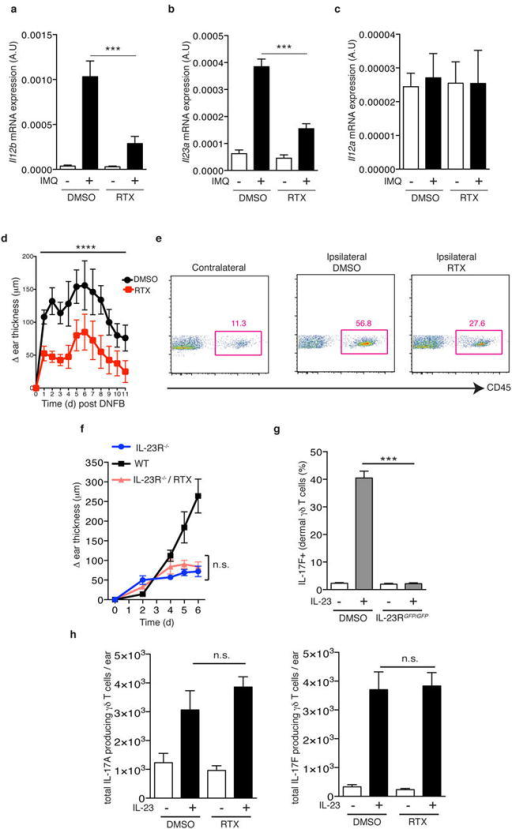 TRPV1+ nociceptors regulate the expression of il12b and il23a upon IMQ challenge, the inflammatory response to DNFB application, and IL-23 injection can bypass their contribution to activate γδ T cellsa–c, After 3 days of IMQ challenge, ears were harvested and processed for total RNA isolation and (a)il12b(b)il23a and (c)il12a mRNA levels were analyzed by qPCR (n=5). d, DNFB (0.5% in acetone) was applied topically to DMSO and RTX mice. Time course of change in ear thickness of IMQ treated ear relative to the contralateral ear is represented (n=10). Two-way ANOVA was run to compare ear swelling under DMSO and RTX conditions over time (****, P < 0.0001). e, Representative FACS plots from ears harvested after 24h of DNFB application. f, IL-23R−/− mice were treated with RTX and then compared to WT and IL-23RGFP/GFP littermate controls during IMQ treatment. Ear thickness was calculated relative to the contralateral ear (n=5). g, After two IL-23 injections into the ear skin of WT and IL-23RGFP/GFP mice, the frequency of IL-17F+ cells within dermal γδ T cells was determined by flow cytometry (n=5). h, IL-23 was injected twice into the ear skin of Vehicle- and RTX-treated mice and the total numbers of IL17A+ or IL-17F+ dermal γδ T cells per ear were determined by flow cytometry (n=5).