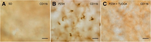 Migration of microglia into the subretinal space of untreated P23H rats. Whole-mount retina of a SD (A), untreated P23H (B) and tauroursodeoxycholic acid (TUDCA)-treated P23H (C) rat immunolabeled with CD11b (OX-42), showing the presence of amoeboid microglial cells in the subretinal space of untreated P23H rats. Scale bar: 40 μm.