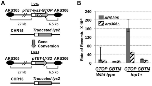 "The effect of replication direction on the gene conversion rate.A. A schematic representation of the gene conversion assay. The pTET-lys2-GTOP cassette (indicated by the hashed box) is located in ""Head-on"" orientation relative to ARS306. In the ars306Δ strain, the closest origin of replication is ARS305 from which replication proceeds in a co-directional orientation with the transcription from pTET. The distances (in kb) are approximate and not to scale. B. The rates of gene conversion at pTET-lys2-GTOP or –GBTM cassette. Transcription and replication are in the ""Head-on"" orientation when ARS306 (gray bar) is present and in the ""Co-directional"" orientation in ars306Δ strains (hashed bar). The 95% confidence intervals are indicated by the error bars."