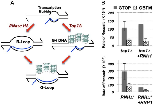 The RNA∶DNA hybrid and gene conversion at the highly transcribed Sμ.A. A model depicting two alternate pathways of G-loop formation. In absence of RNase H activity, RNA∶DNA hybrid accumulation fosters folding of G-runs into G4 DNA. In absence of Top1 activity, G4 DNA, which function as a sink for negative torsional stress, can promote RNA∶DNA hybrid formation. B. The rates of gene conversion at pTET-lys2-GTOP (gray bar) or –GBTM (hashed bar) cassette. Indicated strains were transformed with either pGAL1-RNH1 (+RNH1) or pRS416 as vector control. RNHΔ* indicates rnh1Δ rnh201Δ double mutant strains. The 95% confidence intervals are indicated by the error bars.