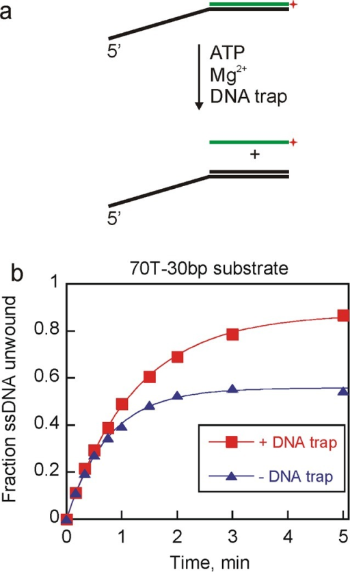 Pif1-catalyzed unwinding yielded differential productappearancein the presence or absence of DNA trap. (a) Duplex DNA substrate wasmixed with Pif1 in the presence of ATP and MgCl2 to formssDNA product. A DNA trap complementary to the unlabeled strand wasincluded in some reactions. (b) Unwinding experiments were initiatedby mixing 2 nM 70T-30bp substrate, ATP, and MgCl2 with200 nM Pif1. Reactions were performed either in the absence (triangles)or in the presence (squares) of unlabeled 60 nM DNA trap. Fittingthe data to the equation for a single exponential resulted in unwindingrate constants of 0.80 ± 0.02 and 1.3 ± 0.04 min–1 for unwinding in the presence and absence of DNA trap, respectively.The amplitudes of the product formation curves are 0.87 ± 0.01and 0.56 ± 0.01 for unwinding in the presence and absence ofa DNA trap, respectively.