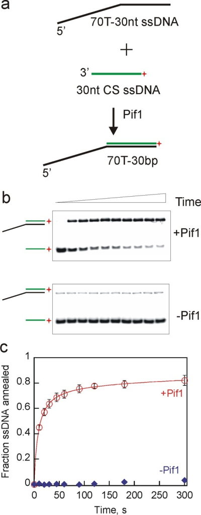 Pif1 exhibited robuststrand annealing activity in the absenceof ATP and MgCl2. (a) Schematic illustration for two partiallycomplementary ssDNAs (70T-30nt and 30nt CS) annealing to generatea partial duplex DNA, 70T-30bp. Pif1 (200 nM) was incubated with 70T-30nt(2.6 nM) and 30nt CS (2 nM) for increasing times, and the reactionswere stopped by mixing with a quench solution containing 200 mM EDTA,1% SDS, 100 nM DNA trap, and 5 mg/mL dextran sulfate. (b) Representativegel images of annealed products formed in the presence of Pif1 (top)and in the absence of Pif1 (bottom) as a function of time. (c) Fractionof ssDNA annealed in the presence of Pif1 (circles). Spontaneous annealingwas measured in the absence of Pif1 (diamonds). Error bars representthe standard deviation of three independent experiments.