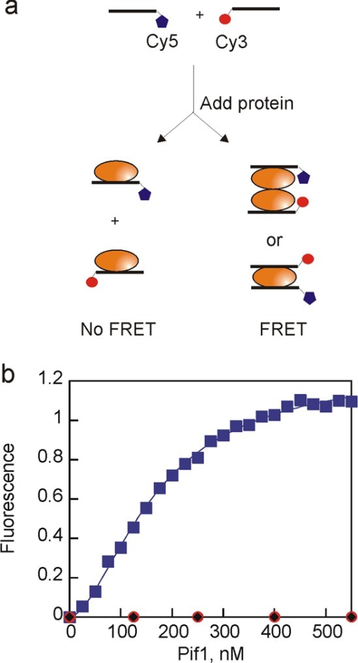 Pif1 can bind multiple strands of DNA. (a) Schematic illustrationof fluorescence titration. Two noncomplementary 8-mer oligonucleotides(100 nM) were mixed and then titrated with Pif1. Fluorescence emissionwas measured at 668 nm with excitation at 550 nm. (b) Increase inCy5 fluorescence emission as a function of Pif1 concentration (blue).Data were fit to the Hill equation to obtain the concentration ofprotein at which half of the maximal FRET change is observed, 200nM Pif1, and the Hill coefficient of 2.1. Duplicate experiments producedsimilar results. No increase in fluorescence was observed in controlreactions in which Pif1 was added to only the Cy3-labeled oligonucleotide(red) or only the Cy5-labeled oligonucleotide (black).