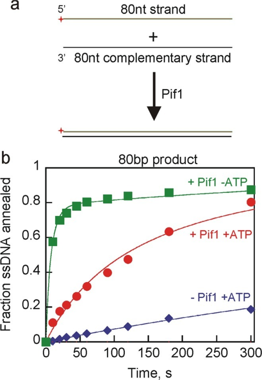 Pif1-catalyzedstrand annealing using longer DNA substrates. (a)Schematic illustration for strand annealing experiments using 80ntstrand and 80nt CS to generate an 80bp blunt end dsDNA product. (b)Results for Pif1 (200 nM) annealing of the 80nt strand (2.6 nM) withradiolabeled 80nt CS (2 nM) to generate an 80bp blunt DNA productin the presence of ATP and MgCl2 (red circles). Annealingby Pif1 in the absence of ATP but in the presence of MgCl2 is shown as green squares. Spontaneous annealing in the absenceof enzyme in the presence of ATP and MgCl2 was also measured(blue diamonds). Data were fit to a simple annealing mechanism (Scheme 2) to obtain second-order rate constants for annealingof 3.0 × 106 M–1 s–1 in the presence of Pif1 and ATP, 2.9 × 107 M–1 s–1 in the presence of Pif1 butin the absence of ATP, and 3.0 × 105 M–1 s–1 in the absence of Pif1.