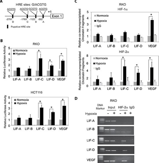 Hypoxia transactivates hypoxia-responsive elements (HREs) in the LIF promoter through HIF-2α(A) The human LIF gene contains 4 putative HREs in its promoter region. (B) Hypoxia activates the luciferase activity of reporter vectors containing HRE-C or HRE-D sites in the LIF promoter. RKO and HCT116 cells were transfected with the luciferase reporter vectors, and then subjected to hypoxia treatment for 36 h before measuring luciferase activities. Luciferase reporter vectors containing the HRE site in the VEGF promoter was included as a positive control. (C) and (D) HIF-2α but not HIF-1α binds to HRE-C and HRE-D sites in the LIF promoter under the hypoxic condition in RKO cells as determined by ChIP assays. Cells were cultured under the hypoxic or normoxic conditions for 36 h before assays. The HRE site in the VEGF promoter serves as a positive control. The amount of DNA fragments pulled-down was determined by real-time PCR (C) or conventional PCR (D). Data are presented as mean ± SD (n = 3). *:p < 0.01 (Student's t-test).