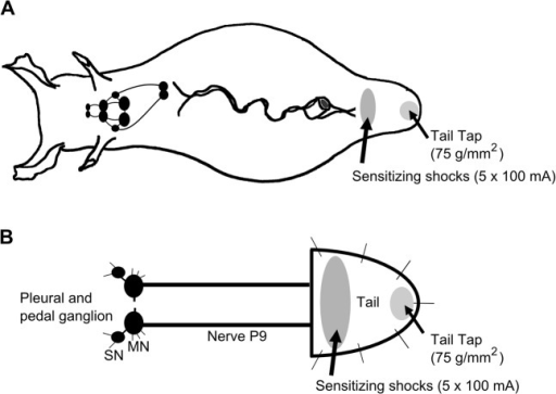Schematic diagram of Aplysia illustrating regions of the tail subject to mechanical test stimulation and sensitizing electrical shocks.A) Behavioral experiments were performed in the intact animal. TWR amplitude and TWR duration were monitored in response to tail tap (75 g/mm2). After 3 baseline pretest taps, each animal received sensitization training consisting of five 1.5 sec, 100 mA shocks delivered to a site immediately posterior to the parapodial convergence. TWR amplitude and TWR duration in response to test tail tap were recorded 15, 30, 45, and 60 min after training and compared to baseline. B) Electrophysiological experiments consisted of a reduced preparation that involved the pleural-pedal ganglia, nerve P9, and attached tail. Tail SN and MN responses to mechanical tail tap were assessed before and after sensitization training as described in A.